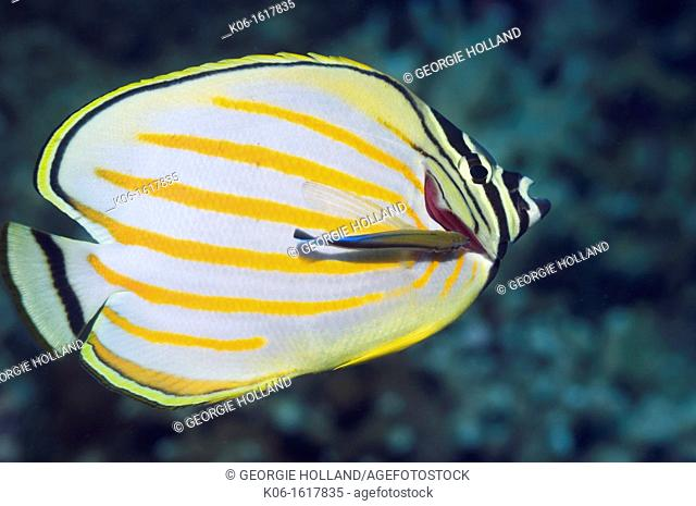 Ornate butterflyfish Chaetodon ornatissimus with a Bluestreak cleaner wrasse  Bunaken National Park, North Sulawesi, Indonesia