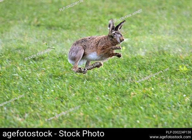 Fleeing European brown hare (Lepus europaeus) shot in field by hunter during the hunting season in autumn / fall