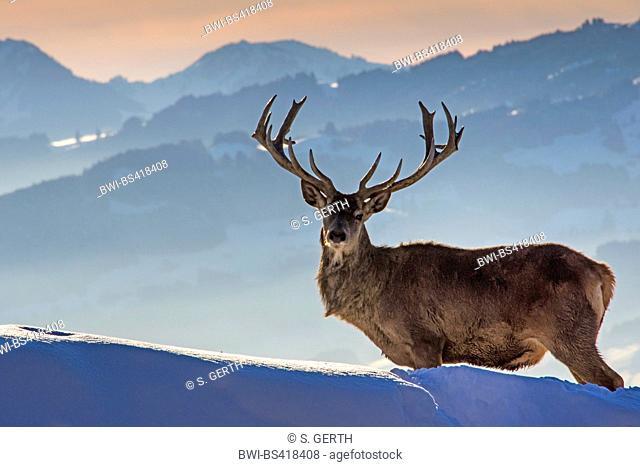 red deer (Cervus elaphus), standing in a wintry mountain scenery, Austria, Vorarlberg, Pfaender