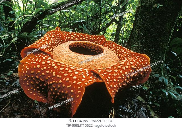 Malaysia, Sarawak, rafflesia flower
