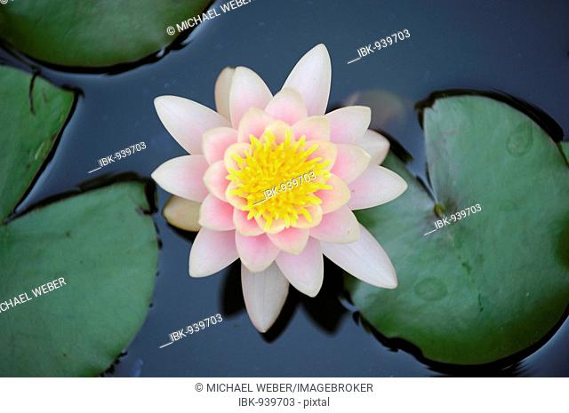 European White Waterlily (Nymphaea alba) and Waterlily leaf