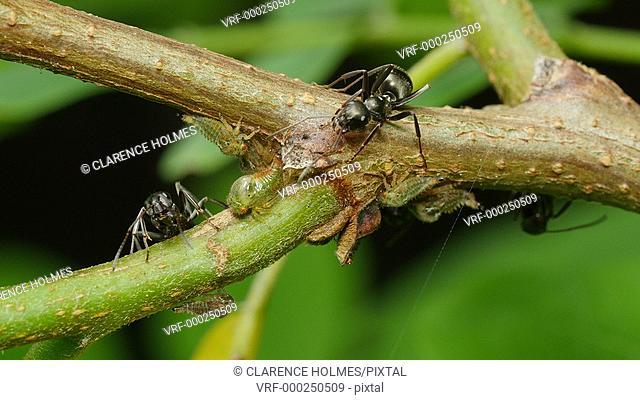 Ants (Formica subsericea) tend Black Locust Treehopper (Vanduzea arquata) nymphs on a Black Locust (Robinia pseudoacacia) tree