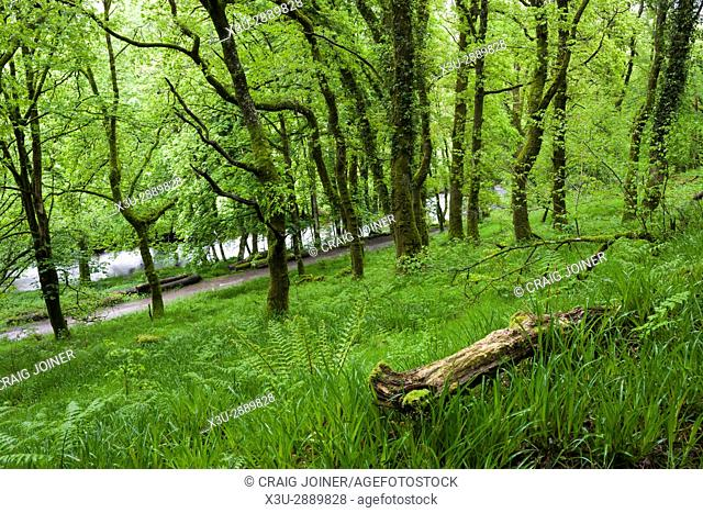 A broadleaf woodland in spring on the bank of the River Barle in Exmoor National Park near Dulverton, Somerset