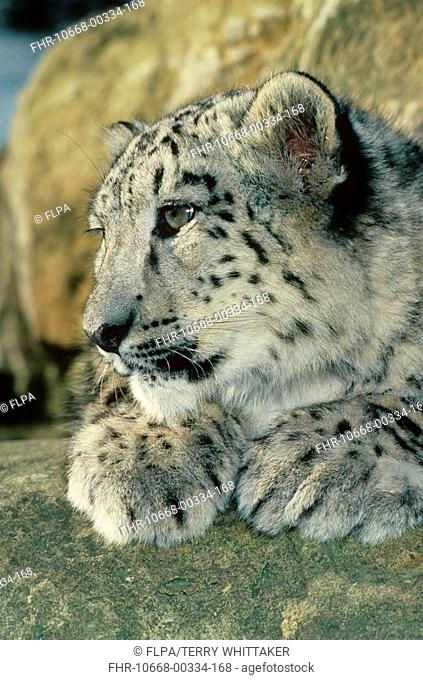Snow Leopard Panthera uncia six month old cub resting, close-up, mountains of Central Asia