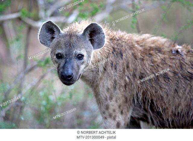 Portrait of spotted hyena, South Africa