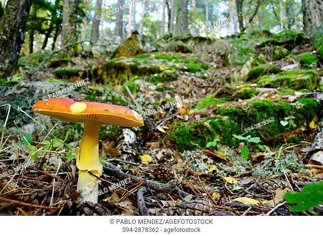 Mushroom (Amanita spp.) in Sestil de Maillo stream near Canencia, Madrid, Spain