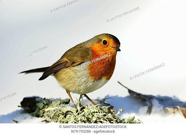 Robin (Erithacus rubecula). Sierra Madrona, Ciudad Real province, Castilla-La Mancha, Spain