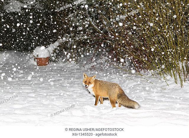 European Fox Vulpes vulpes, in snow covered garden, winter