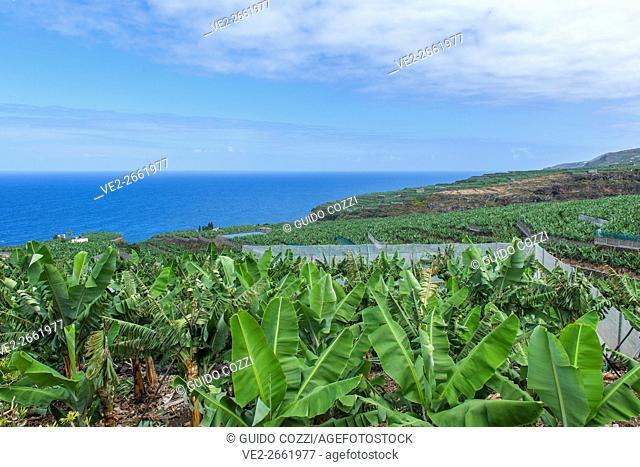 Spain, Canary Islands, La Palma. banana cultivation near Los Sauces