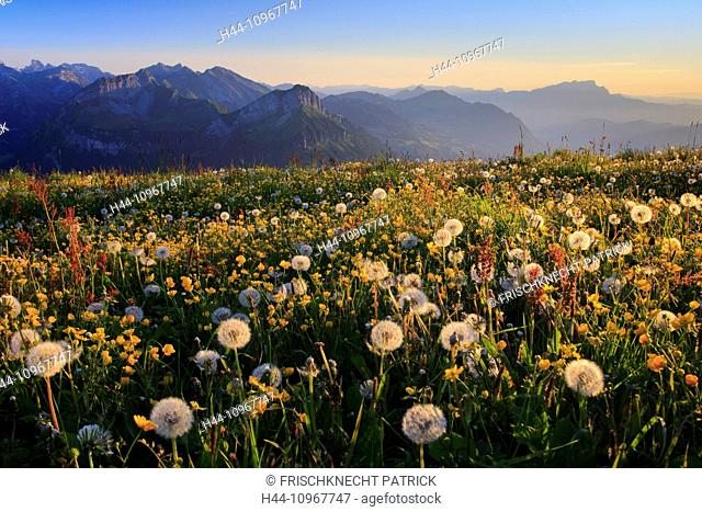 Evening, evening mood, Alp, Alps, view, view from Fronalpstock, mountain, mountain panorama, mountains, mountain spring, flower, flowers, flower meadow, flora