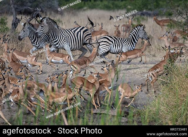A herd of impala, Aepyceros melampus, and a herd of zebra, Equus quagga, scatter from a clearing