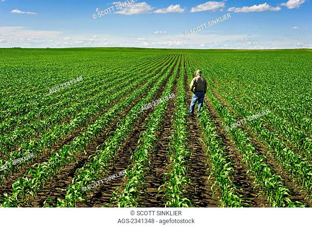 Agriculture - A farmer looks out across his early growth grain corn field several weeks after planting inspecting the progress of his crop / Central Iowa, USA