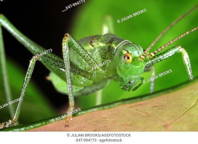 Speckled bush Cricket Leptophyes puctatissima on leaf