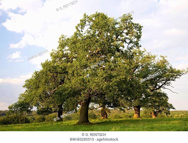 oak (Quercus spec.), Oaks in a meadow, Germany, Hesse, Beberbeck