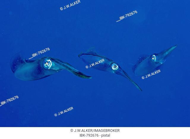 Bigfin Reef Squid, Oval Squids (Sepioteuthis lessoniana), Roatan, Honduras, Caribbean