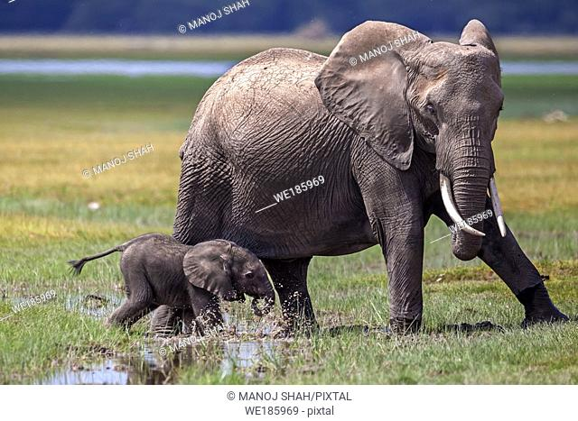 African Elephant mother with baby walking through the marsh in Amboseli National Reserve, Kenya