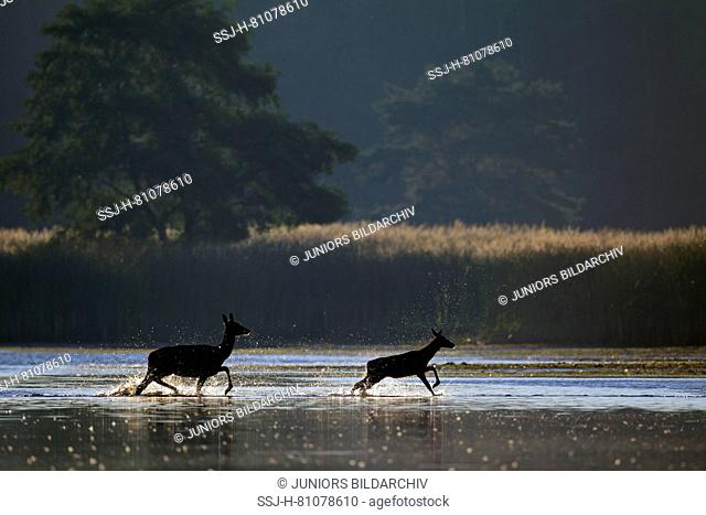 Red Deer (Cervus elaphus). Hind with calf fleeing through a shallow pond. Saxony, Germany