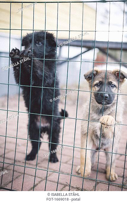 Puppies rearing up on fence