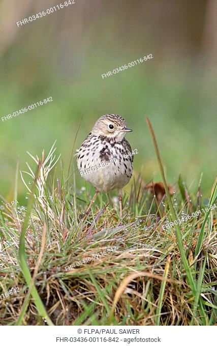 Meadow Pipit Anthus pratensis adult, standing on grass tussock, Suffolk, England, april