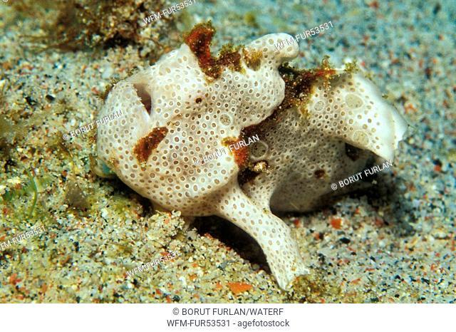 Spotted Frogfish, Antennarius pictus, Puerto Galera, Mindoro Island, Philippines