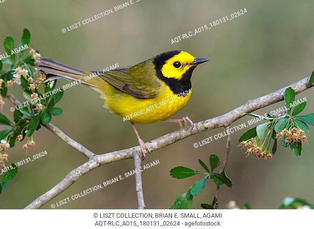 Hooded Warbler, Setophaga citrina