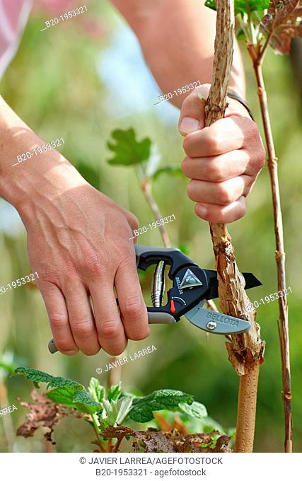 Gardener cutting bush, Pruning secateurs, Hand tool, Garden,