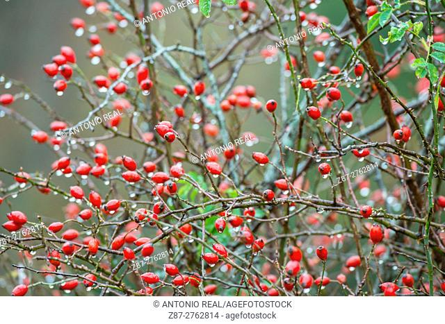 Rose hips (Rosa canina). Valle de Hecho, Valles Occidentales Natural Park, Pyrenees Mountains, Huesca province, Aragon, Spain