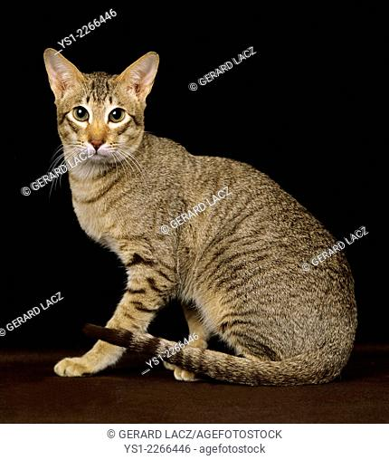 Brown Tabby Oriental Domestic Cat against Black Background