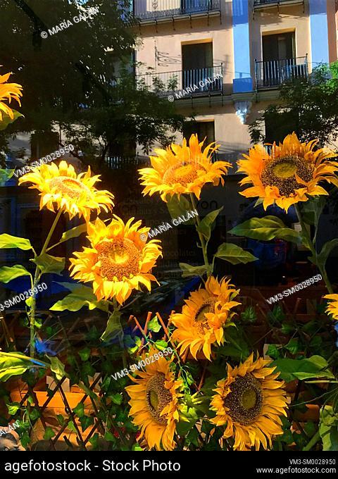 Sunflowers in a shop window