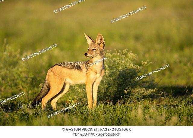 Black-backed Jackal (Canis mesomelas), Kgalagadi Transfrontier Park, Kalahari desert, South Africa/Botswana