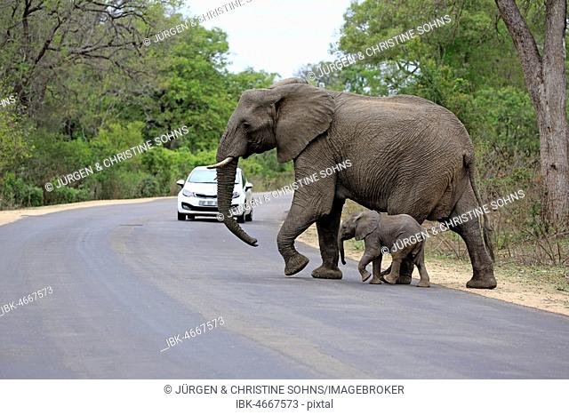 African elephants (Loxodonta africana), elephant cow with young animal crossing a road with car, tourism, Kruger National Park, South Africa