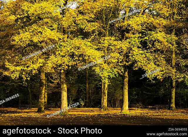 Colorful autumn forest in the Netherlands, Europe