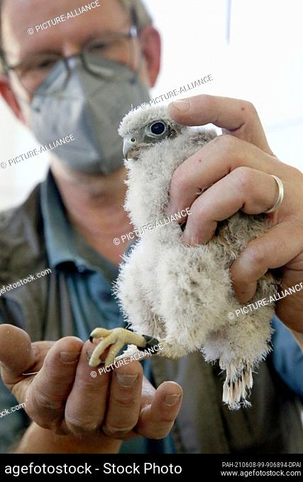 08 June 2021, Berlin: Nurse Stefan Krupko holds a young kestrel that has been ringed in the water tower of the Vivantes Clinic in the Neukölln district