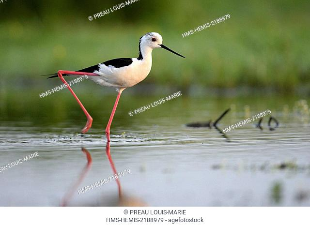 France, Vendee, Barre de Monts, Daviaud, Stilt (Himantopus bimantopus)