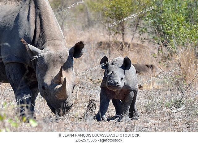 Black rhinoceroses (Diceros bicornis), female with young, standing on dry grass, Kruger National Park, South Africa, Africa