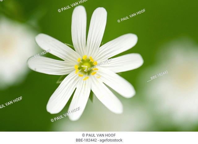 Flowering addersmeat