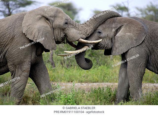 African elephant, Elephant, Loxodonta africana