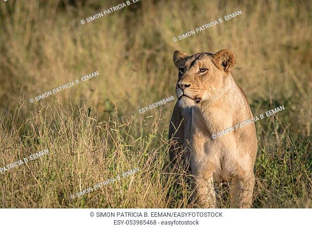 Lion in the high grass in the Chobe National Park, Botswana