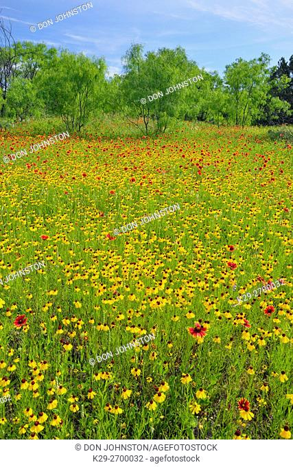 Spring wildflowers in a meadow, featuring brown bitterweed, Llano County, Texas, USA