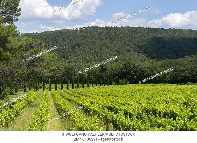 One of the vineyards of the Chateau la Coste near Aix-en-Provence in the Provence, France with Italian cypress trees (Cupressus sempervirens) in the background