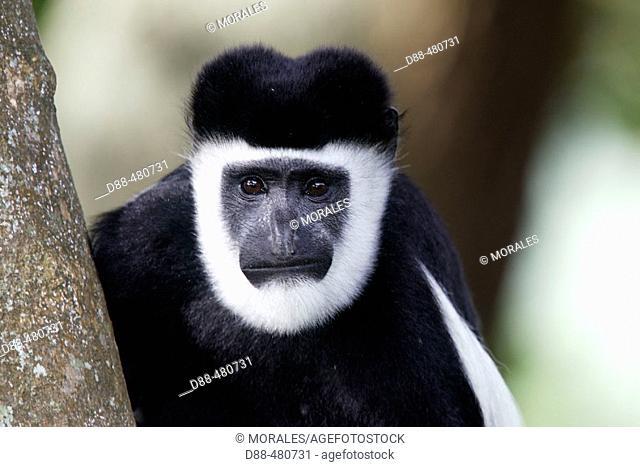 Western Black-and-white Colobus Monkey (Colobus polykomos)