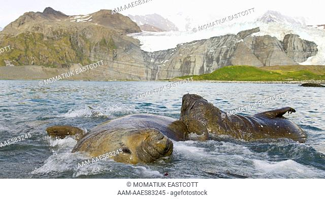 Southern elephant seal bulls, subadult males (Mirounga leonina) swimming, floating in sea together, fall, Gold Harbour, Southern Ocean, Antarctic Convergance