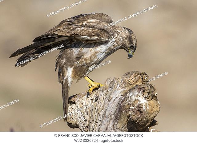 Common buzzard (Buteo buteo) on the trunk in Extremadura, Spain