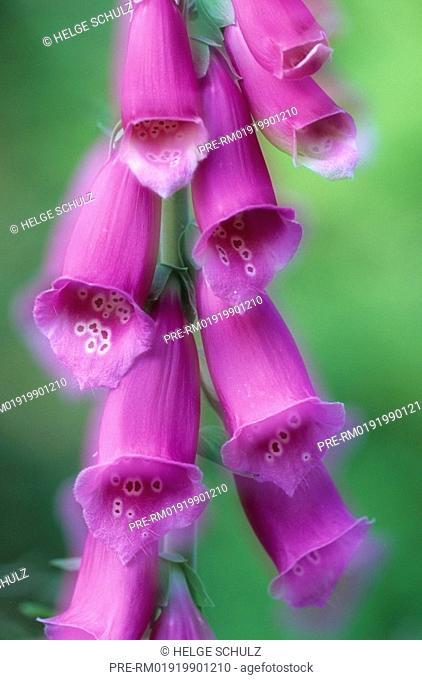 Foxglove, Digitalis purpurea