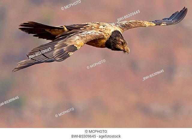 Lammergeier, Bearded Vulture (Gypaetus barbatus meridionalis), gliding squeaker, South Africa, Kwazulu-Natal