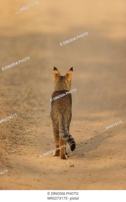 Jungle cat Felis chaus walking , Ranthambore National Park , Rajasthan , India