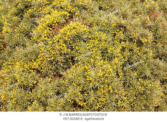 Aulaga mora or morisca (Ulex canescens) is a spiny dense branch shrub endemic to Almeria province. This photo was taken in Cabo de Gata Natural Park, Andalucia