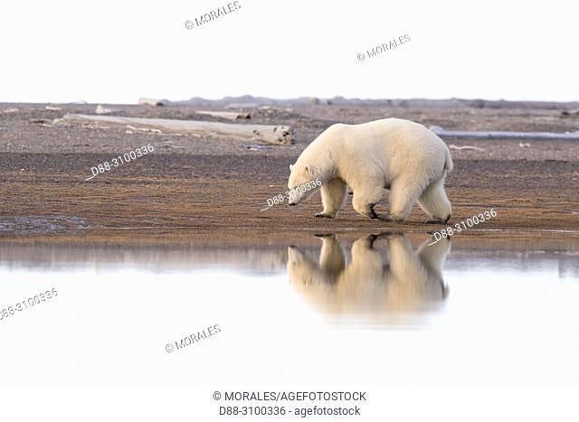 United States, Alaska, Arctic National Wildlife Refuge, Kaktovik, Polar Bear( Ursus maritimus ), along a barrier island outside Kaktovik, Alaska