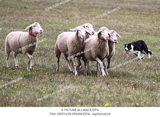 14 September 2018, Thuringia, Crawinkel: Border Collie Dan at the German Border Collies sheepdog championships. The best herding dogs and hobby shepherds of...