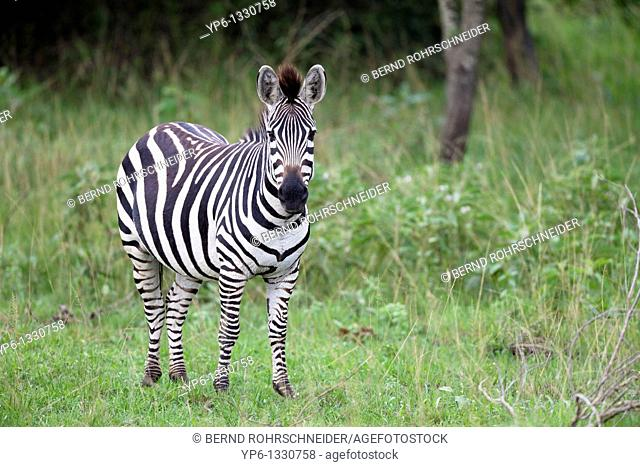 Plains Zebra, Equus quagga, standing in savannah, Lake Mburo National Park, Uganda